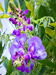 Greek flower. (philander9098) Tags: blue summer sun holiday flower lens landscape island hotel sony sigma greece 1750 alpha pefkos rhodes 65 28f