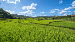 Rice Fileds (KRW_GNS) Tags: blue summer sky food mountain plant green nature water beautiful field grass rural season landscape asian thailand countryside asia rice natural paddy terrace farm background country hill harvest grow paddle fresh growth tropical environment agriculture agricultural binh