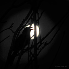 Spring Moon (birdcloud1) Tags: moon bird nature night spring song wildlife birdsong moonrise turdusmerula lunar blackbird evensong blackbirdsinging infinestyle overtheexcellence amandakeogh amandakeoghphotography birdcloud1