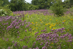 Wildflower Covered Meadow (kevin kludy) Tags: flowers color green nature beautiful beauty field grass rural landscape outside outdoors colorful pretty purple natural vibrant country scenic meadow growth verdant lush multicolored tranquil goldenrods joepyeweeds saturatedcolors