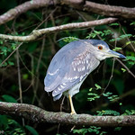 Night Heron (dutch: Kwak)