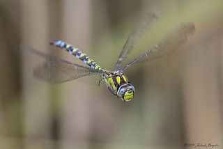 Southern Hawker (Aeshna cyanea) Dragonfly flying - Explored