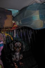 IMG_9901 (salt107) Tags: trip dog look car puppy see eyes kevin ride dachshund sit crate blackandbrown