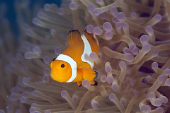 Shoal of clownfish (hasrullnizam) Tags: wild fish plant macro nature water animal coral fauna flora underwater wildlife clownfish anemone tropical reef saltwater philippine softcoral hasrullnizam