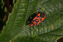 Scentless Plant Bug (me'nthedogs) Tags: somerset hills scentlessplantbug polden combehillwood