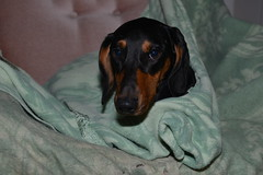 _140926_3369 (verbeek_dennis) Tags: dachshund tax kaapo dashond myrkoira  gravhund jazvek nikon800e tksa