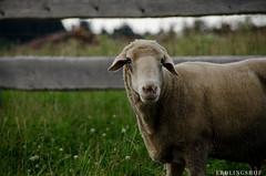 201408-Scharfe-5942 (jerdlingshof) Tags: green sheeps wz scharfe erdlingshof