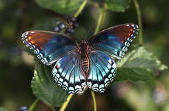 Red Spotted Purple (DrPhotoMoto) Tags: blue orange butterfly northcarolina mimic richmondcounty limenitisarthemis redspottedpurple thinfilminterference pipevineswallowtailmimic