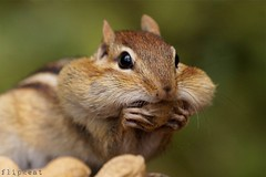 Positive Attitude (flipkeat) Tags: portrait cute nature face animal closeup rodent funny wildlife sony full chipmunk eastern alvin pouches chippy mamal tamias a500