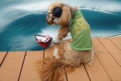 365/262 - 9/19/14 - International Talk Like a Pirate Day (~Patti~) Tags: dogs water boat pirates talklikeapirateday dogchal picmonkey arrrrgggggh
