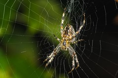 Spider on a net (Krzysztof Szaro) Tags: morning light white macro net halloween nature beautiful animal closeup danger garden circle insect spider scary pattern natural legs background wildlife web fear silk network scare arachnophobia trap