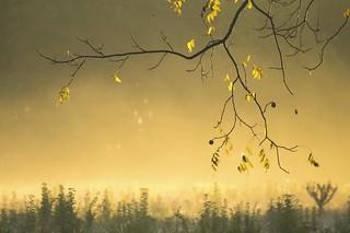Walnuts In The Mist
