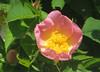 IMG_6390 (hemingwayfoto) Tags: rose flora pflanze gelb wildrose blume blüte strauch busch botanik zart blühen rosacanina heckenrose einheimisch blütenstempel rosengewächs
