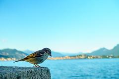 Italian sparrow waiting to steal my food (louys:) Tags: italy bird closeup bokeh sony sparrow lagomaggiore dscrx100m3