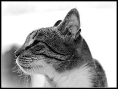 Perfiles (MaPeV) Tags: morris bellolindoguapetón gatos cats chats kawaii felin neko gatti gattini gattoni tabby chat katze gato kitty tabbyspoted powershot canon g16 blanco y negro perfiles