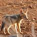 Black-backed Jackal (Canis mesomelas) pup ...