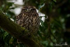 Rotund Little Owl (jammo s) Tags: littleowl owl spring bird birdofprey perched athenenoctua tree hidden wildlife nature lightroom canonef400mmf56lusm canoneos80d