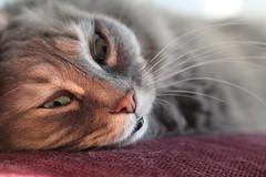 I have my eyes on you ... (MomOfJasAndTam) Tags: hff happyfurryfriday cat feline shayla eye eyes watching fur furry face sleep sleepy nose snout lazy texture textures portrait
