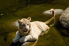 Tigre de Bengala (claudioromero) Tags: temaiken