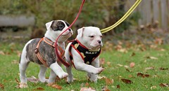 Pas de deux (ALok fotografie) Tags: puppie pup puppy puppies young petdog pets pet ambull amerikaansebulldog americanbulldog bully bulldogs bulldog huisdier hond perro chien baby pasdedeux exploring hondengedrag hondenfotografie dog happydog doggy dogface sweet 7weeks nikkor nikon nikon18200 nikond7200 7200 d7200 nederland thenetherlands europe colours colour cute grass green groen gras leash