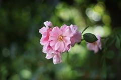 roses (ΞSSΞ®®Ξ) Tags: ξssξ®®ξ pentax k5 flower summer angle 2016 bokeh smcpentaxm50mmf17 pink green depthoffield plant rose blossom garden outdoor serene blur