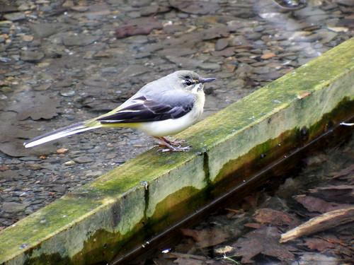 Grey Wagtail Motacilla cinerea