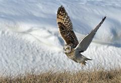 short eared owl in the wild (Mel Diotte) Tags: short eared owl flight