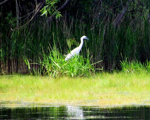 39 Egrets Harkers Island NC 9814