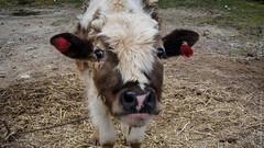 Тибетская корова