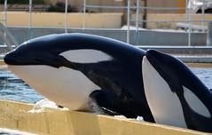 wikie et moana (orcamel30) Tags: white black nature water big eau noir communication beaut orca behavior blanc marineland freya orcas saut gros plat moana orcinus orque echouage orques wikie comportement