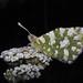 Las mariposas de Palencia * Euchloe