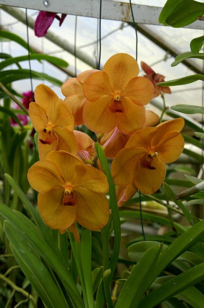 vanda orchideen vanda orchideen flickr photo sharing. Black Bedroom Furniture Sets. Home Design Ideas
