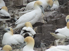 Gannets (mr_snipsnap) Tags: birds rock scotland bass forth sanctuary colony lothian gannet firth