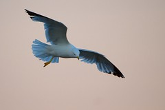 One-legged Gull (imageClear) Tags: sky bird nature animal wisconsin fly flying nikon flickr wildlife seagull gull flight telephoto sheboygan photostream 80400mm onelegged d7000 imageclear