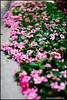 rikenon50 pink at f1.4 (ChristianRock) Tags: nature garden 50mm pentax bokeh 50mmf14 rikenon ricoh50mmf14 rikenon50mmf14 k20d pentaxk20d rikenonxr50mmf14