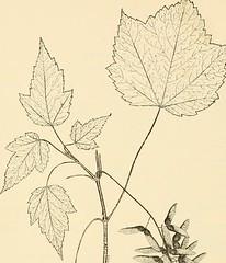 Anglų lietuvių žodynas. Žodis goosefoot maple reiškia goosefoot klevas lietuviškai.