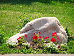 "Imagination: Our ""Sleeping Polar Bear"" (peggyhr) Tags: flowers red brown white canada green grass rock earth alberta granite petunias sweetalyssum peggyhr bluebirdestates sleepingpolarbear dsc01649a"