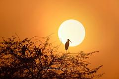 Silent Watcher ... (ArvinderSP) Tags: sunset india tree bird nature silhouette photography newdelhi paintedstork 561 arvindersingh tamronaf70300mmf456dild nikond7000 arvindersp nationalzoologycalpark