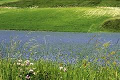 LA FIORITURA A CASTELLUCCIO DI NORCIA (sandra merizzi) Tags: marche umbria sibillini fioritura lenticchie castellucciodinorcia