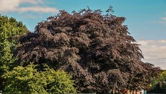 Sprawling Copper Beech At Park Entrance (aaron_eos_photography) Tags: park trees summer sun nature sony foliage trail copper greenery beech copperbeeches lurganpark lightroom5 sonyslta77v sonydt1650mmf28ssm