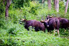 KEN_4053 (Kenny W13) Tags: nikon indian bison d800 gaur valparai topslip erumai kaattu