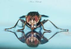 Fly reflections...... (aroon_kalandy) Tags: macro reflection fly eyes aroonkalandy calicyc