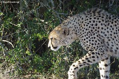 Cheetah - Gupard (Acinonyx jubatus), Felidae (Daniel.Goeleven (Wildlife & Biodiversity)) Tags: afrique mammifre felidae acinonyx gupar