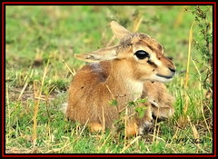 THOMSON'S GAZELLE FAWN (Gazella thomsoni)......MASAI MARA......SEPT 2013 (M Z Malik) Tags: africa nikon kenya wildlife ngc safari npc kws masaimara d3x exoticafricanwildlife 200400mm14afs