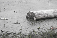 Day 222 - Don't Drink the Water (brandondesign) Tags: life park blackandwhite lake nature water grass pond log charlotte 365 selectivecoloring project365 365project