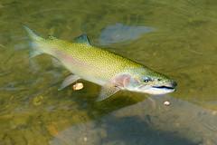 Dogwood Canyon-9595 (Hopalongsdad) Tags: fish rainbow canyon dogwood trout branson rainbowtrout dogwoodcanyon