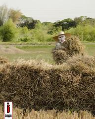 Salansan 02 (Stacking) (ilusyonimages) Tags: street asian photography asia farm philippines farming harvest images illusion filipino farmer ricefields ilusyon