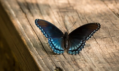 Butterfly (jtorres3993) Tags: park trees plane butterfly river big flood bald southcarolina national cypress knees plain congaree congareenationalpark