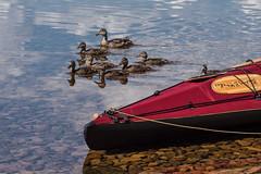 Rogen Nature Reserve (qitsuk) Tags: cloud lake reflection clouds landscape duck kayak sweden schweden canoe shore kayaking mallard canoeing watersports scandinavia klepper rogen foldingkayak jämtlandslän foldingboat gränselandet rogennaturereserve