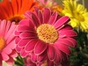 Gerber Daisys (Nelges) Tags: pink flowers macro closeup canonpowershots3is